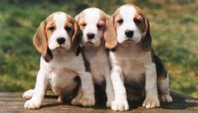 Photo Beagle - Photo chiot Beagle