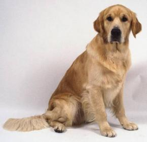Caractère du golden et information sur le chien golden