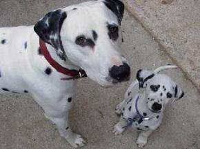 Caractère du dalmatien et information sur le chien dalmatien
