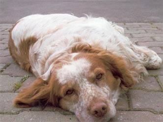 Caractère de l'épagneul breton et information sur le chien épagneul breton