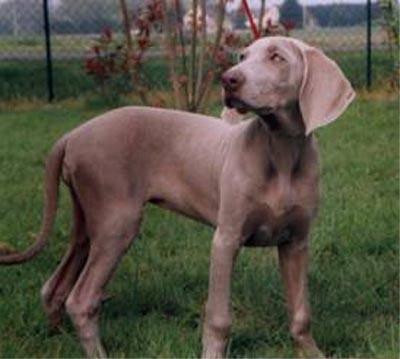 Caractère du braque de weimar et information sur le chien braque de weimar