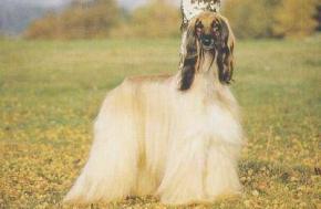 Caractère du lévrier afghan et information sur le chien lévrier afghan