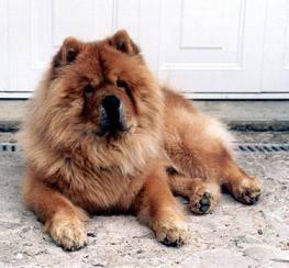 Aptitude du chow chow et information sur le chien chow chow
