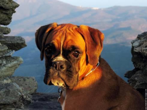 Caractère du boxer et information sur le chien boxer