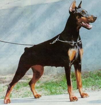 Description du dobermann et information sur le chien dobermann