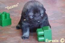 Kidmut Dazmo of Eurasia (4 weeks)
