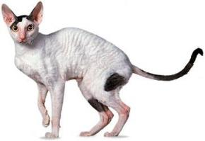 Photo du chat Cornish rex