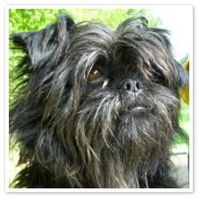 Photo du chien affenpinscher