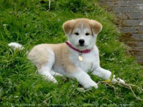 Photo du chien akita inu