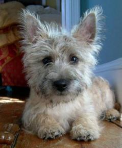 Photo du Cairn terrier