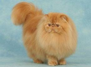Photo du chat persan