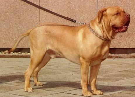 le chien dogue de bordeaux information et caract re du