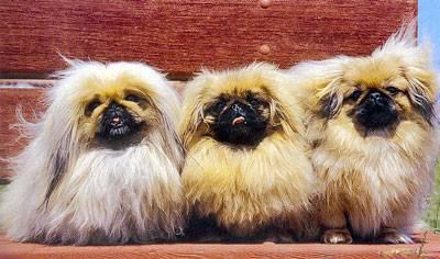 Photo du chien pékinois