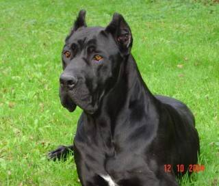 Photo du chien Cane Corso