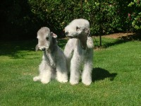 bedlington terrier de la source du diamant bleu