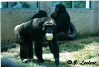 Chimpanzé: singe ou grand singe?
