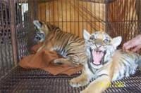 Temple des Tigres: Exploitation de jeunes tigres