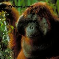 Top Modèle Orang-Outan mâle