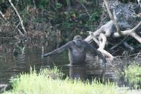 Utilisation d'un outil par une femelle gorille