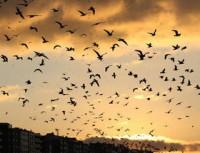 Les Oiseaux ne se cachent plus pour mourir...