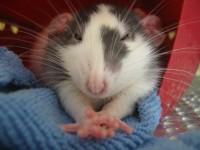 Le rat domestique comme animal de compagnie