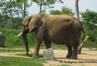 Comportement animal: éléphant en captivité et en milieu naturel