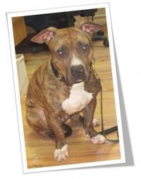 Pitbull femelle. Programme d'adoption Inspecteur Canin. Février 2015.