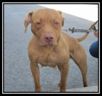 Roxy, pitbull de 2 ans. Programme d'adoption Inspecteur Canin. Avril 2015.