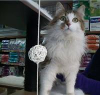 Chatte domestique Inspecteur Canin (SCB)