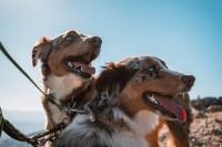 berger-australien-chien-prefere-des-francais