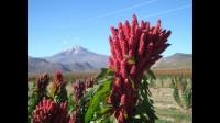 Quinoa en Bolivie